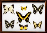 Yellow Insects Collection Thoughts in brown, Butterfly Frame - Insect Frame UK, Insect Frame UK  - 2