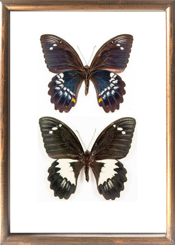Gambrisius Butterfly Solid wood 25x35 Rear & Top side Brown, Butterfly Frame - Insect Frame UK, Insect Frame UK  - 1
