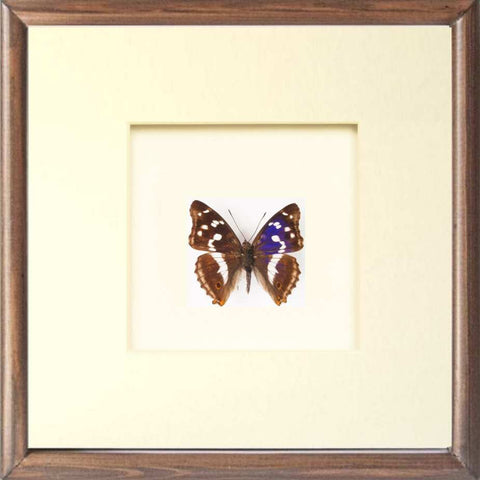 Framed Apatura Iris - Insect Frame UK