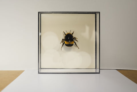 Bumble Bees Special Collection , Insect Frame - Insect Frame UK, Insect Frame UK  - 1