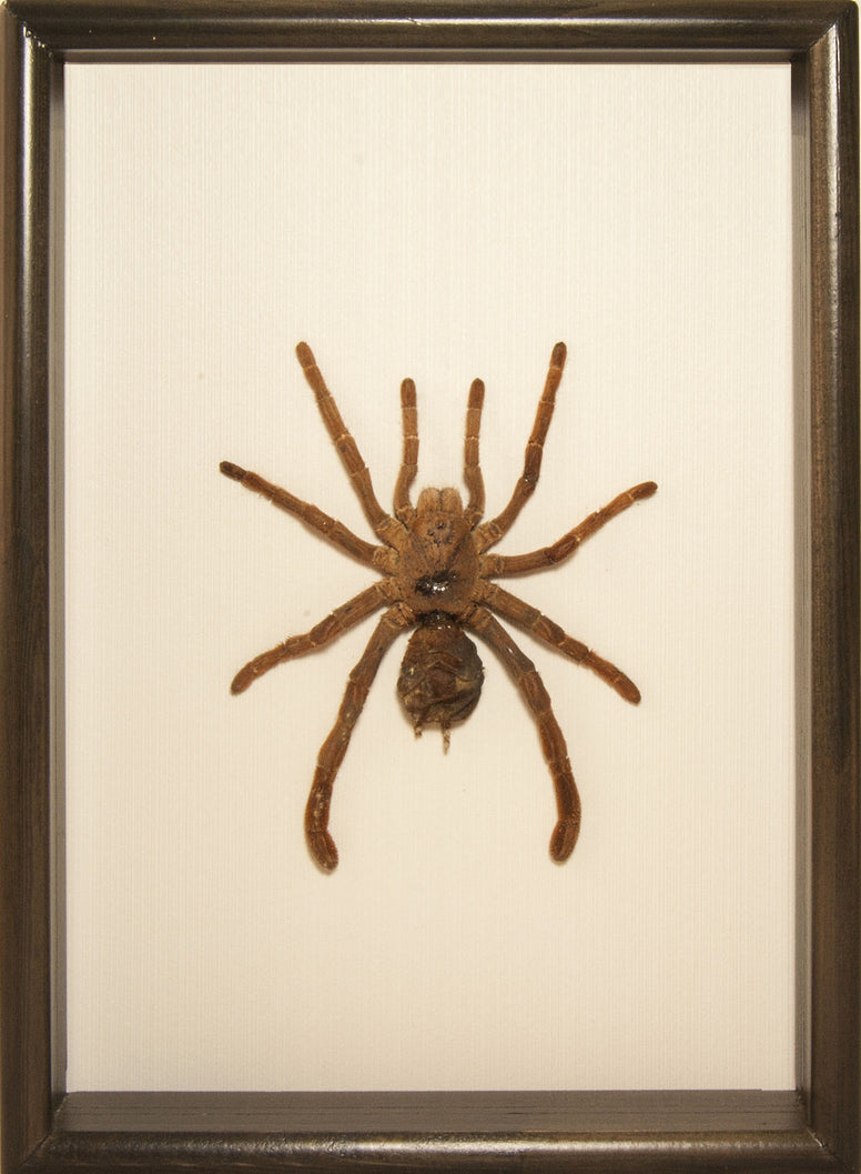 Giant Drumstick Baboon Tarantula , Spider Frame - Insect Frame UK, Insect Frame UK
