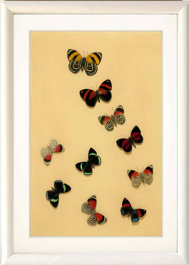 Art with Callicores White, Butterfly Frame - Insect Frame UK, Insect Frame UK  - 3