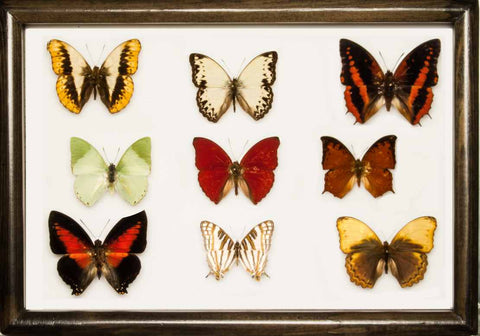 Africans Butterflies Collection - Suitcase gift option Africans colours, Butterfly Frame - Insect Frame UK, Insect Frame UK  - 2