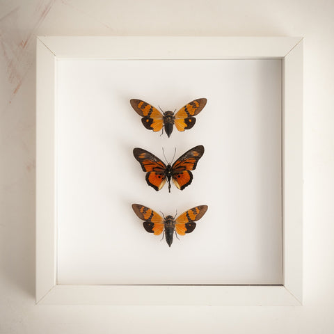 Butterflies and cicadas from Nigeria Cameroon Cameroon Nigeria, Natural History Collection - Insect Frame UK, Insect Frame UK  - 2