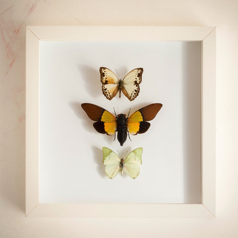 Butterflies and cicadas from Nigeria Cameroon Cameroon Nigeria Nigeria, Natural History Collection - Insect Frame UK, Insect Frame UK  - 1