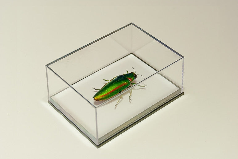 Chrysochroa Rajah Thailandica - Insect Frame UK