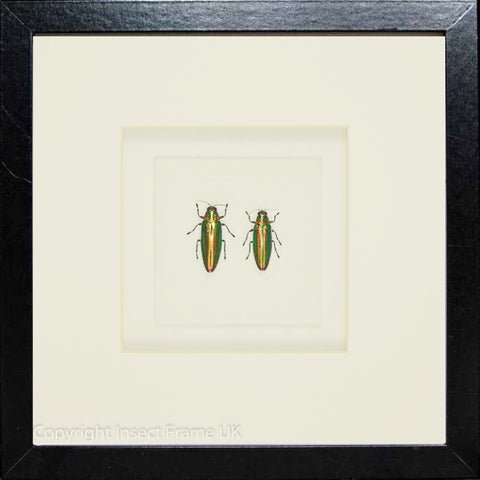 Emeralds Beetles - Insect Frame UK