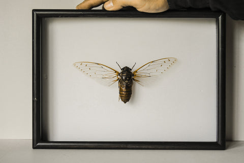 Clearwing Cicada - Insect Frame UK