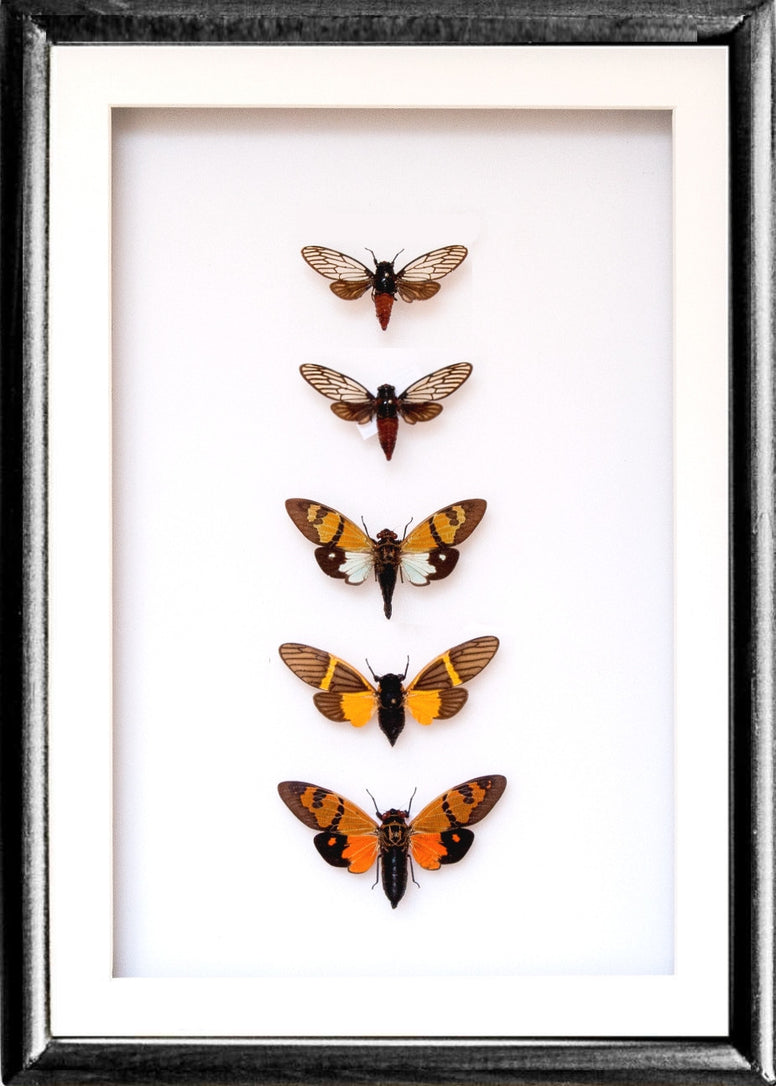 Cicadas Crickets Collection - Insect Frame UK