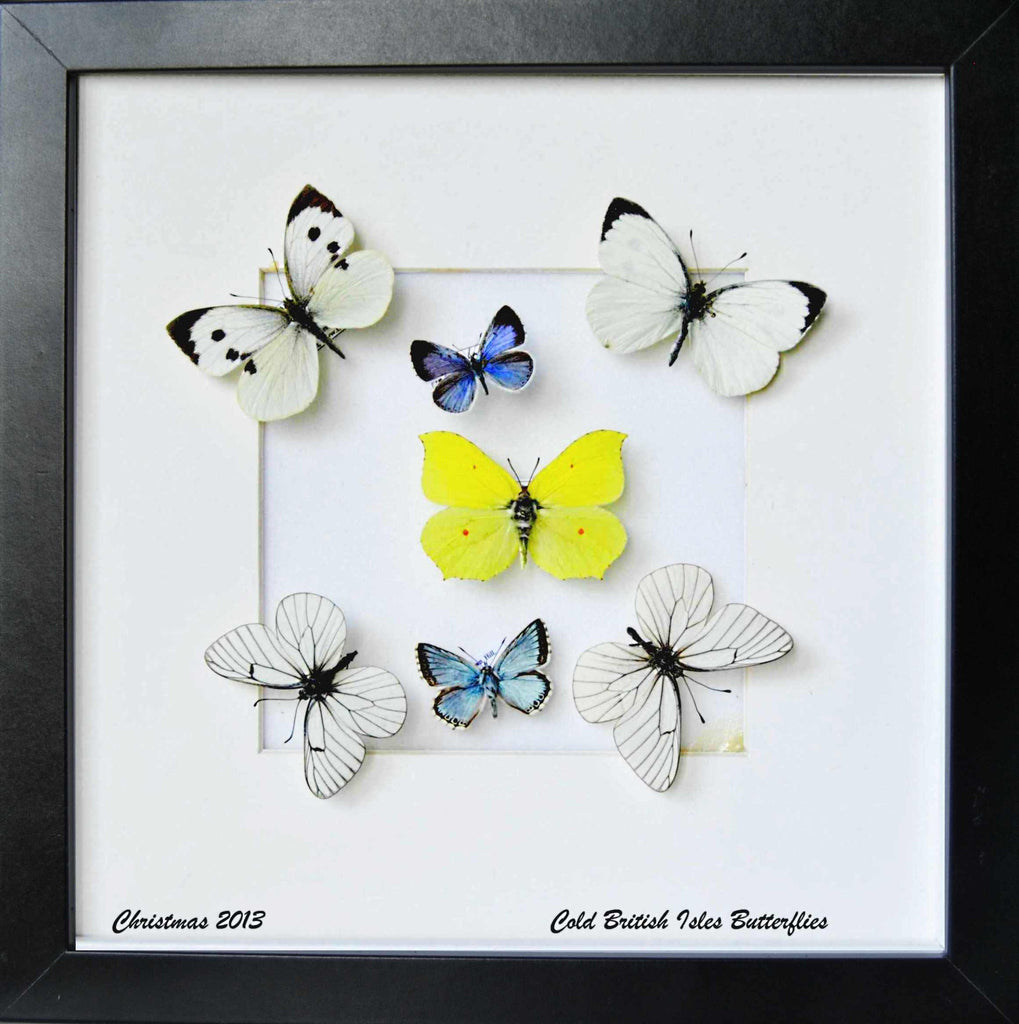 Cold British Isles Collection Black Frame / 25x28x4.5, Butterfly Frame - Insect Frame UK, Insect Frame UK  - 1