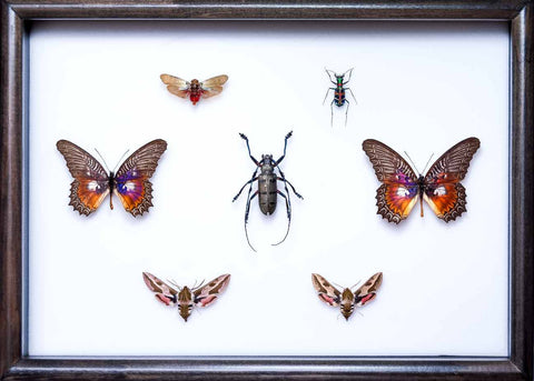 Collection of Asian Insects Asian variety in Black, Natural History Collection - Insect Frame UK, Insect Frame UK  - 1