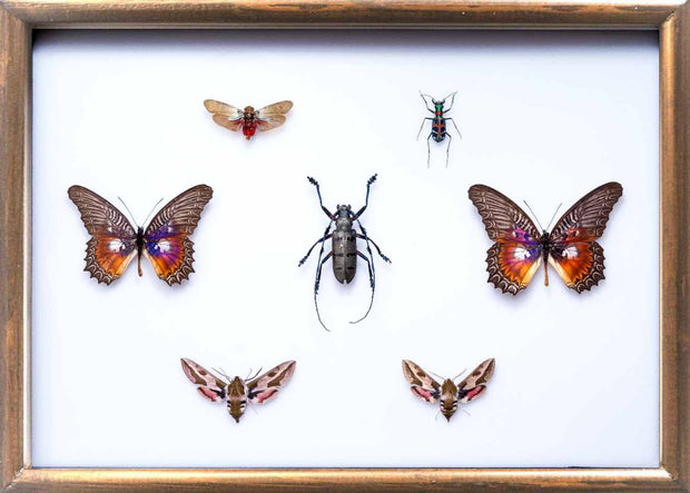 Collection of Asian Insects Asian variety in Brown, Natural History Collection - Insect Frame UK, Insect Frame UK  - 2