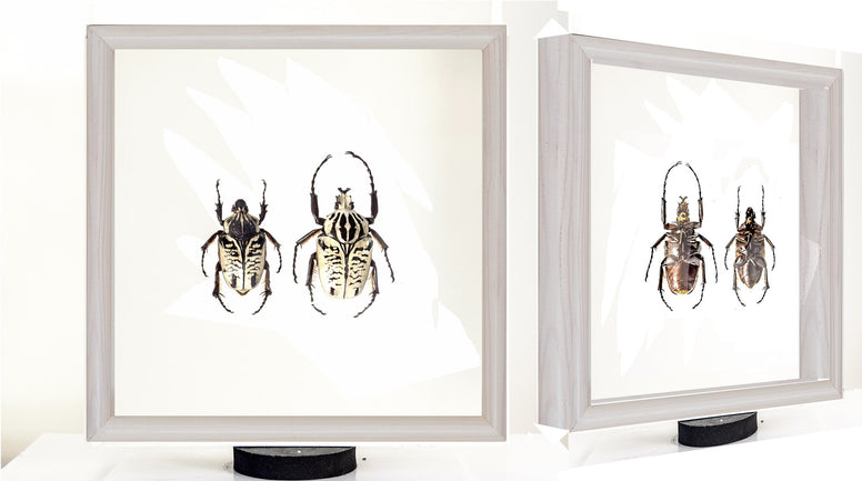 Goliathus Albosignathus Kirkianus Double side view White Solid Wood frame, Beetle Frame - Insect Frame UK, Insect Frame UK  - 1