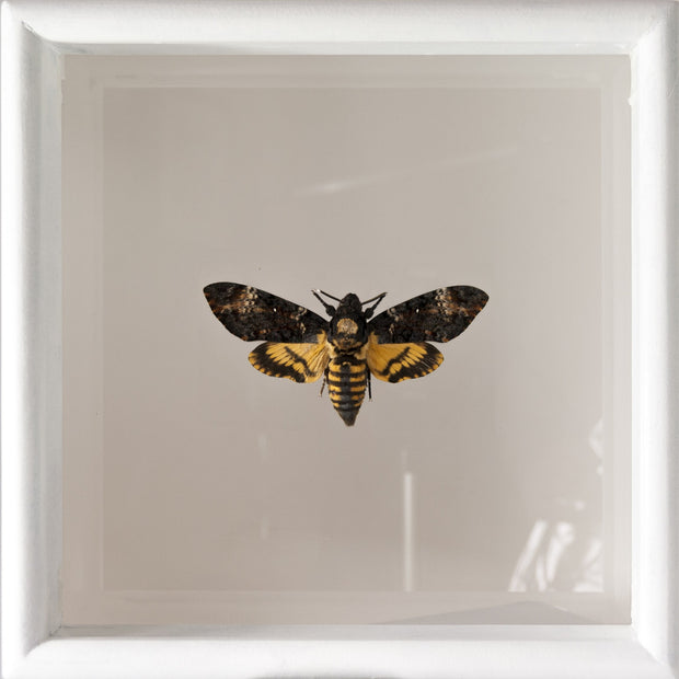 Framed Death's Head Hawk Moth Double view frame Acherontia atropos, Moth Frame - Insect Frame UK, Insect Frame UK  - 1