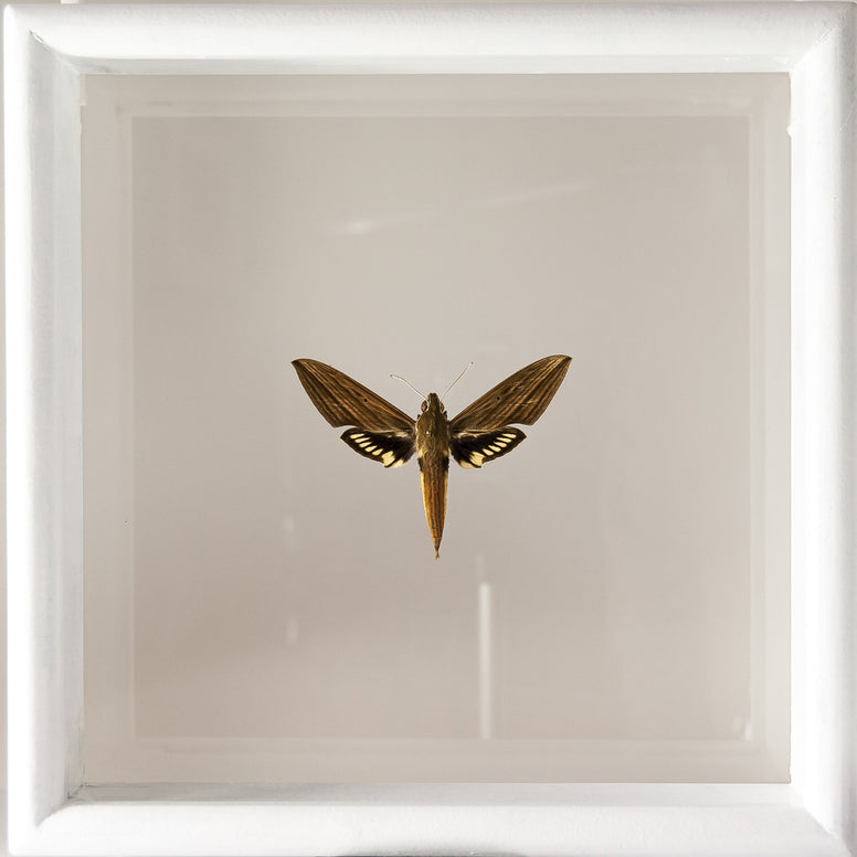 Xylophanes Crotonis White double view frame, Moth Frame - Insect Frame UK, Insect Frame UK