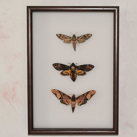 Moths Collection - Insect Frame UK