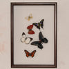 Having Things in Common Framed Butterfly Collection - Insect Frame UK
