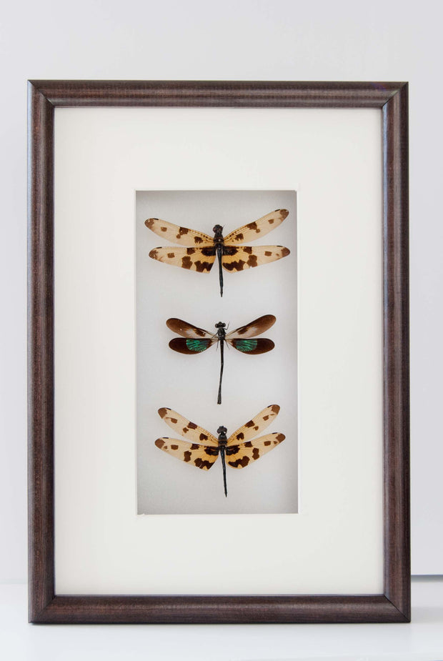 Odonata Species - Insect Frame UK