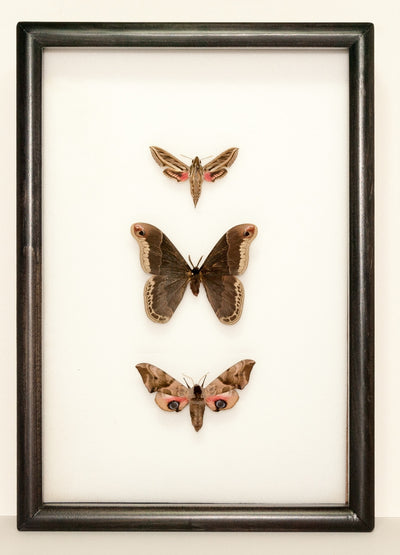 New Silky Hawk Moths Collection - Insect Frame UK