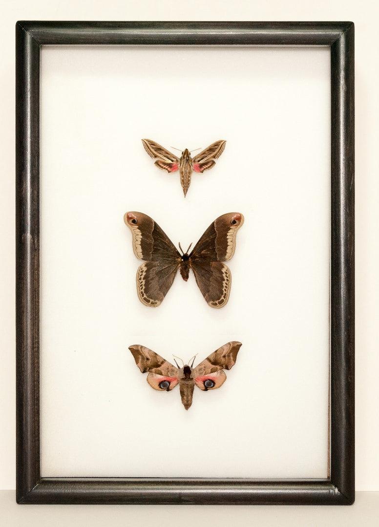 New Silky Hawk Moths Collection Black, Moth Frame - Insect Frame UK, Insect Frame UK  - 1