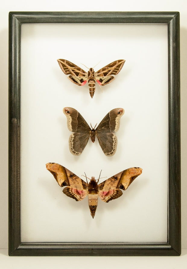 Trittico Silky Hawk Moths Black, Moth Frame - Insect Frame UK, Insect Frame UK  - 1