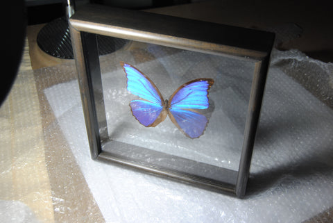 Framed Blue Morpho Didius