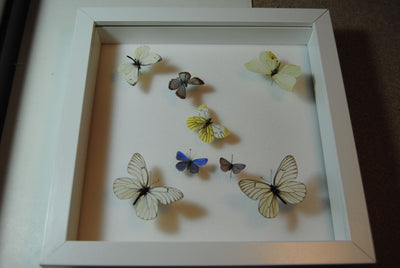 Cold British Isles Collection - Insect Frame UK