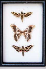 Moonlight flying colours - Insect Frame UK