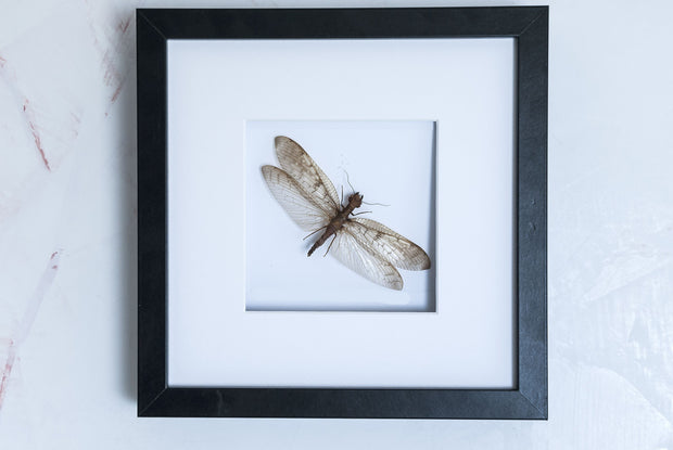 Dobsonfly female Black Frame - White Background, Insect Frame - Insect Frame UK, Insect Frame UK