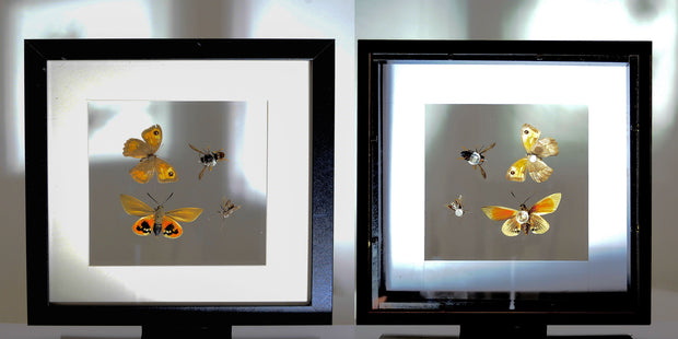 Hornet, bees, vespa Double side view Black framed of Provence, Insect Frame - Insect Frame UK, Insect Frame UK  - 1