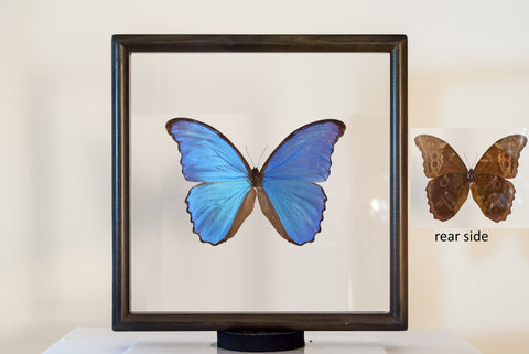Framed Blue Morpho Didius Morpho Didius double side view, Butterfly Frame - Insect Frame UK, Insect Frame UK  - 1