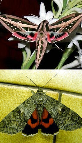 Banded sphinx and Red underwing Fibreboard 25x25, Moth Frame - Insect Frame UK, Insect Frame UK  - 2