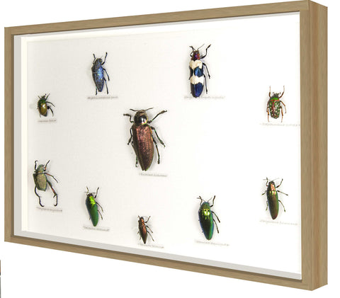 Educational Set of Insects mixed Beetles, Insect Frame - Insect Frame UK, Insect Frame UK  - 1