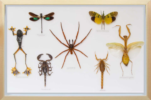 Educational Set of Insects mixed specimens, Insect Frame - Insect Frame UK, Insect Frame UK  - 2