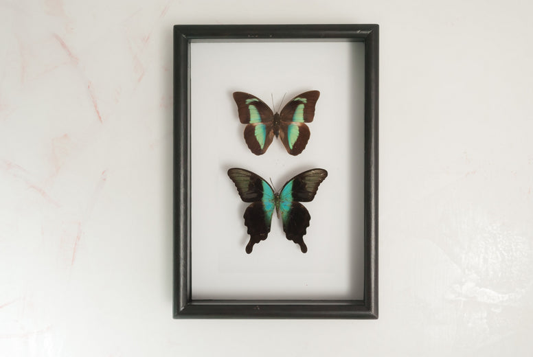 Overlooking An Emerald Sea Black Solid wood frame 21x30, Butterfly Frame - Insect Frame UK, Insect Frame UK