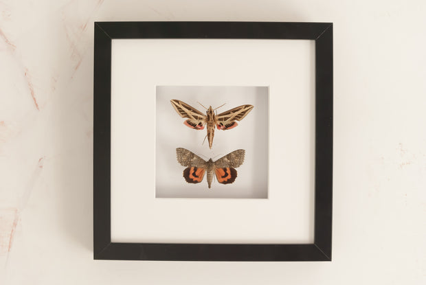 Banded sphinx and Red underwing - Insect Frame UK