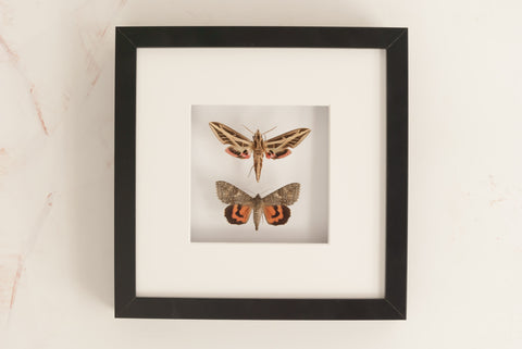 Banded sphinx and Red underwing , Moth Frame - Insect Frame UK, Insect Frame UK  - 1