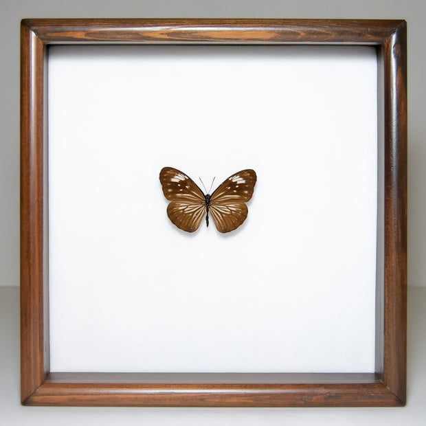 Striped Blue Crow Solidwood Dark Brown (F), Butterfly Frame - Insect Frame UK, Insect Frame UK  - 3