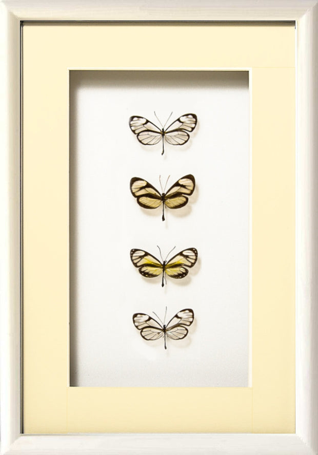 Glass-Wing Butterflies Glass-wing in white frame, Butterfly Frame - Insect Frame UK, Insect Frame UK  - 2