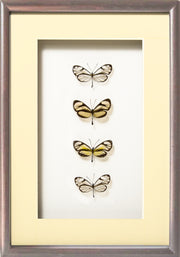 Glass-Wing Butterflies Glass-wing in brown frame, Butterfly Frame - Insect Frame UK, Insect Frame UK  - 4