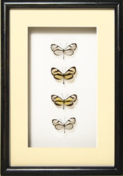 Glass-Wing Butterflies Glass-wing in black frame, Butterfly Frame - Insect Frame UK, Insect Frame UK  - 3