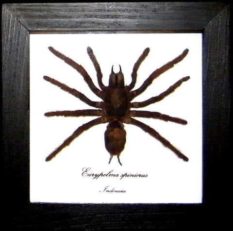 Spinicrus Tarantula , Spider Frame - Insect Frame UK, Insect Frame UK