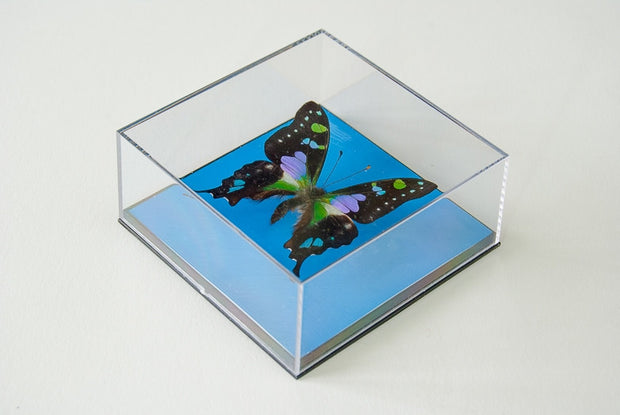 Graphium Weiskei - Insect Frame UK
