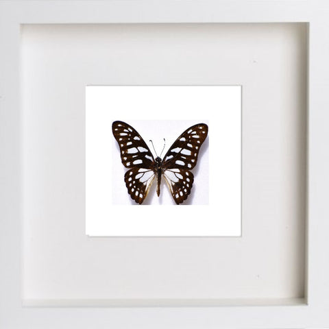Leonidas Swallowtail Framed Butterfly - Insect Frame UK