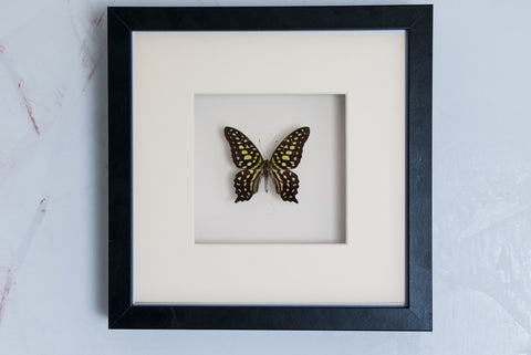 Tailed Green Jay butterflies Black Frame - White Background, Butterfly Frame - Insect Frame UK, Insect Frame UK  - 1