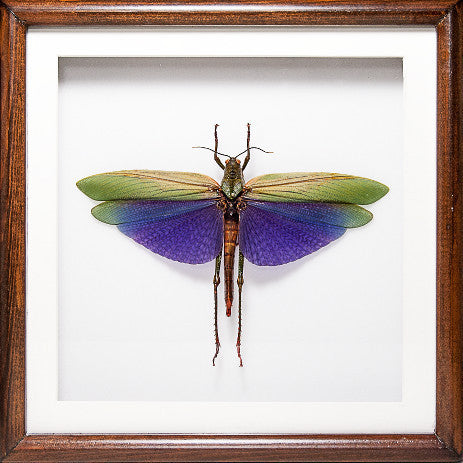 Purple and Red Grasshopper - Insect Frame UK