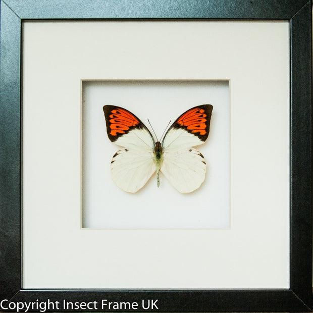 Framed Giant Orange Tip Black Frame - White Background, Butterfly Frame - Insect Frame UK, Insect Frame UK  - 4