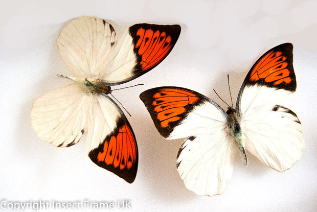 Framed Giant Orange Tip , Butterfly Frame - Insect Frame UK, Insect Frame UK  - 6