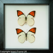 Framed Giant Orange Tip Duo black, Butterfly Frame - Insect Frame UK, Insect Frame UK  - 5