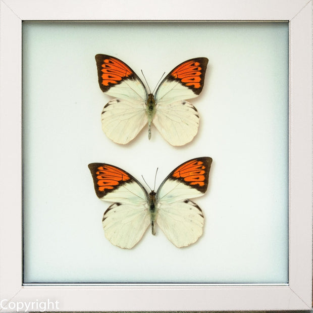 Framed Giant Orange Tip Duo white, Butterfly Frame - Insect Frame UK, Insect Frame UK  - 2